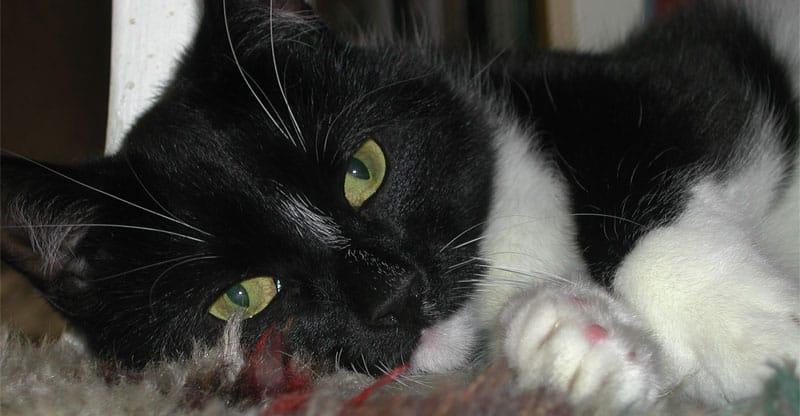 Katten Tessan ligger på en matta