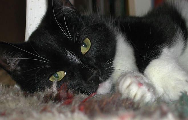 Svart-vit katt Tessan ligger på en matta