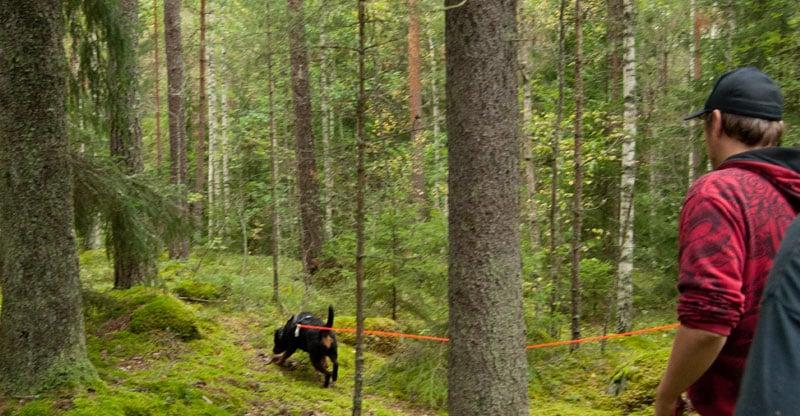 Rottweiler spårar i skogen