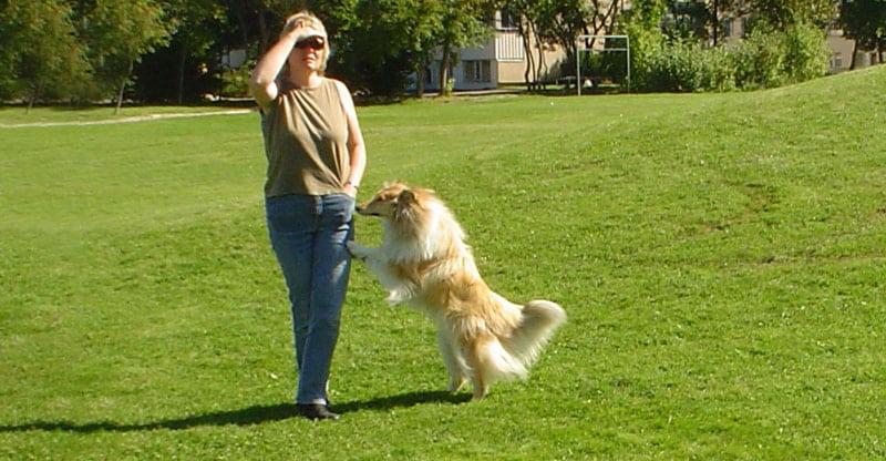 Collie hoppar på en kvinna