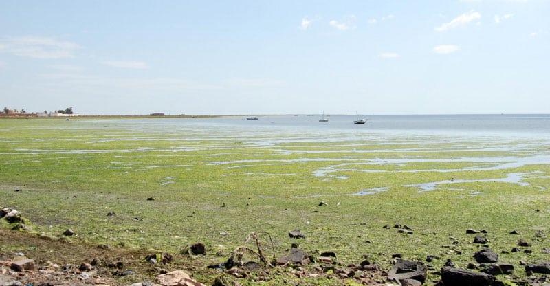 Algblomning i sjö