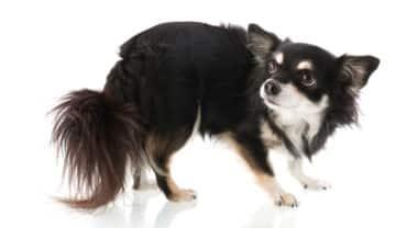 Rädd och ängslig Chihuahua
