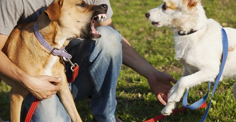 Arg hund skäller på en annan hund