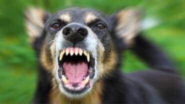En arg hund som skäller