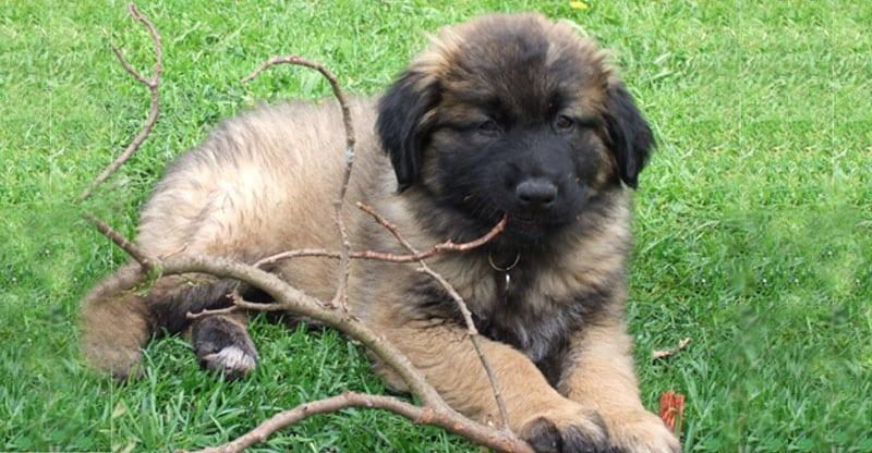 Hundvalp Astra- Cão da Serra da Estrela