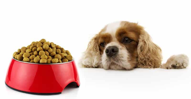 Cavalier tittar på full matskål