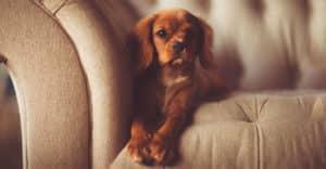 Hund ligger i soffan