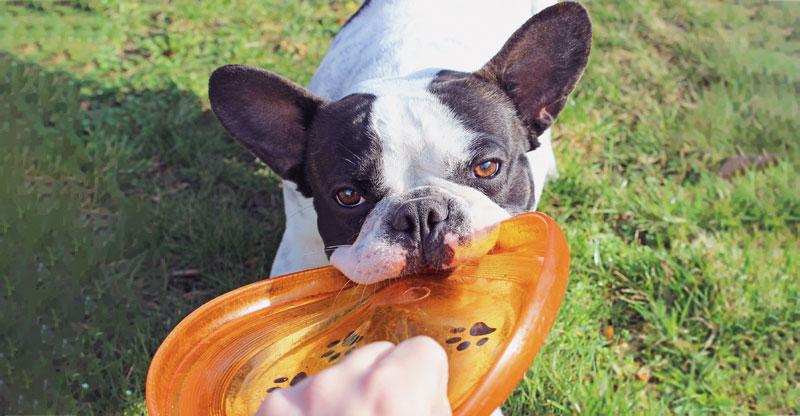 Fransk Bulldog leker