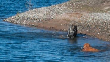 Shanti och Gösta- två hundkompisar som badar