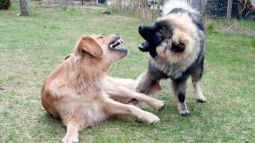Golden retriever och eurasier leker genom att bitas