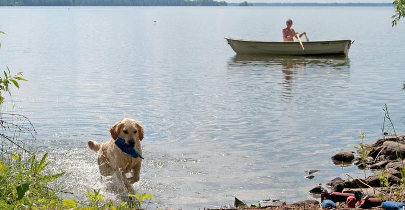 Golden retriever apporterar i vattnet
