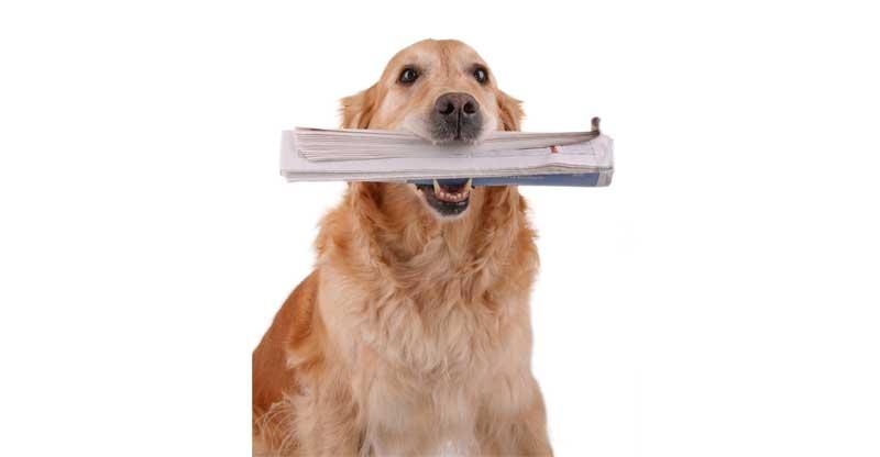 En Golden retriever med tidning i munnen