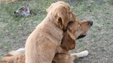 Golden retriever valpen Aksel med sin storebror Gösta