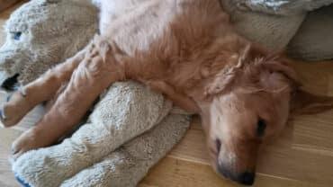 Goldenvalp sover vid ensamhetsträning