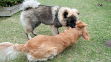 En Golden retriever och en Eurasier leker