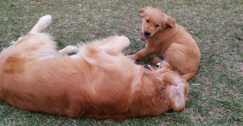Två golden retrievers leker med varandra