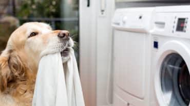 Golden retriever hjälper till med tvätten