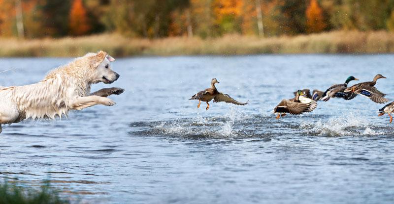 Golden retriever jagar änder
