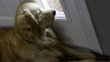 Golden retriever ligger vid dörren och väntar