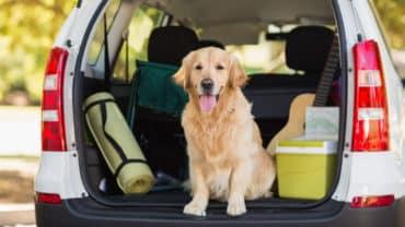 Golden retriever sitter i bakluckan på en bil