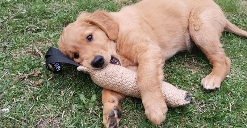 valpen Aksel, golden retriever biter i leksak