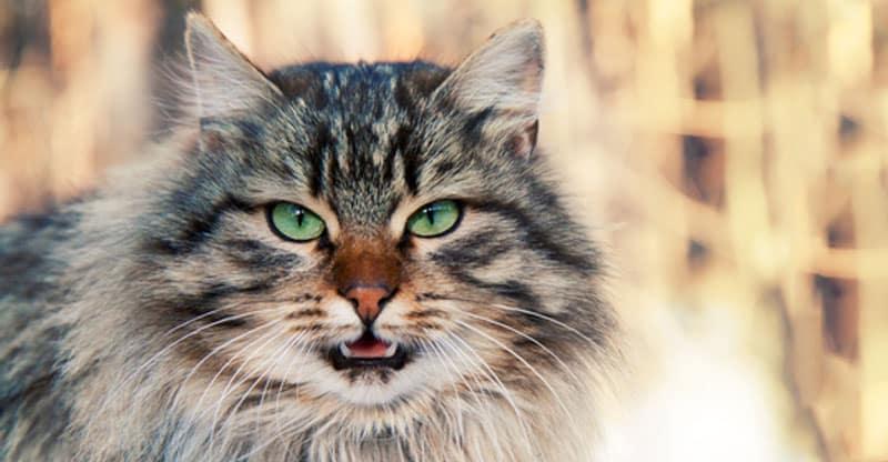 Gråspräcklig katt som jamar