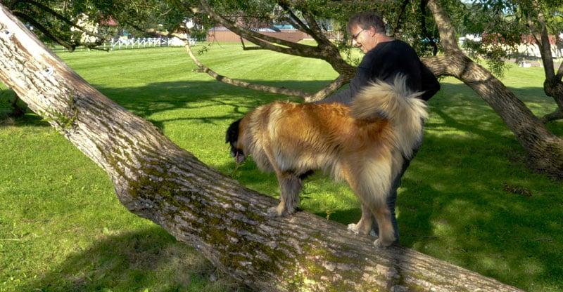 Hunden Astra balanserar på ett träd