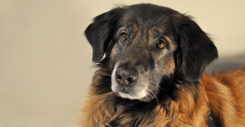 Astra- en hund med allergi