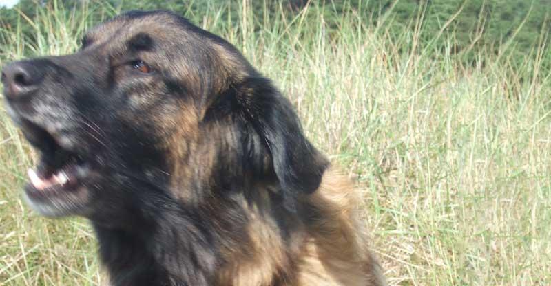 Hund, Cão da Serra da Estrela vaktar