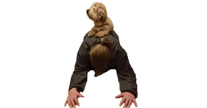 Bichon Havanaise balanserar på mattes rygg