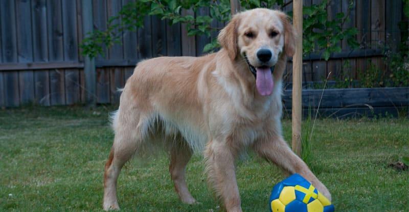 Hund- golden retriver Gösta