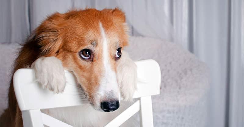 Hund hänger över stolsryggen