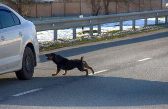 Hund jagar bilar