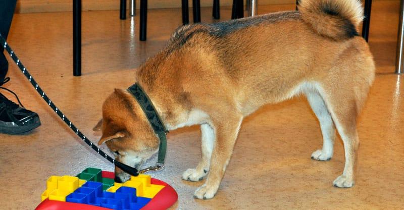 Hund jobbar med ett aktiveringsspel