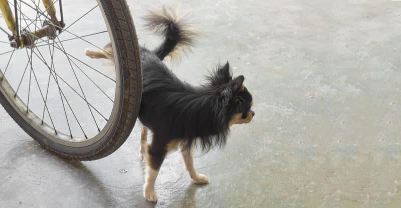 Hund kissar på en cykel