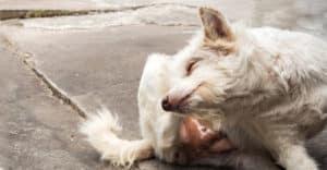 Hund kliar sig bakom öronen