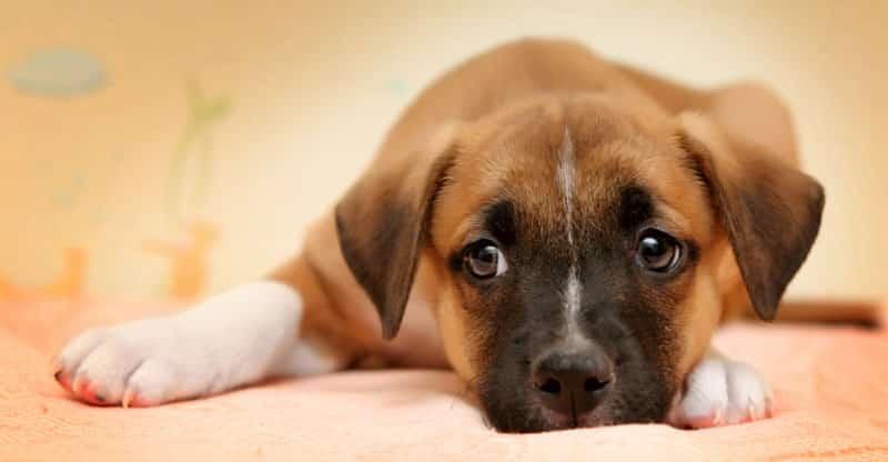 Hund ligger på en filt och tittar