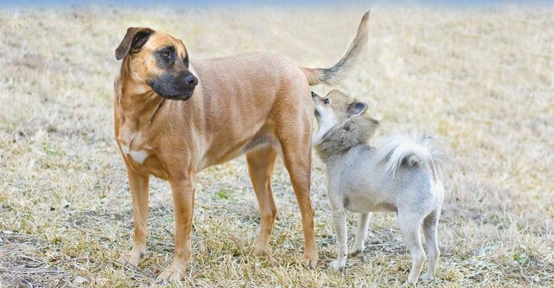 Liten hund luktar en stor hund i baken - feromoner