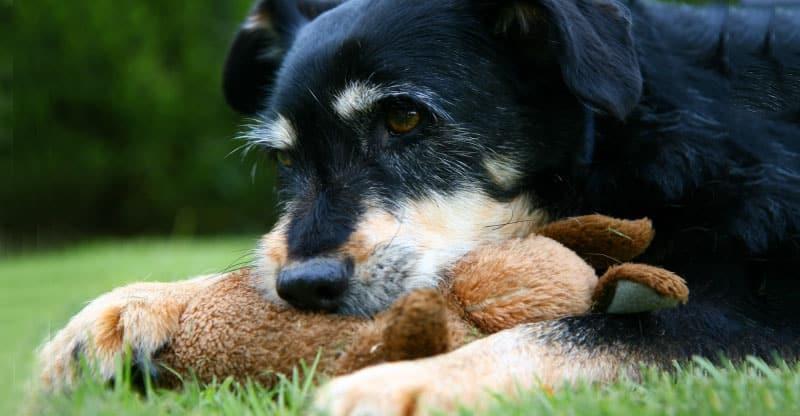 Hund med sitt gosedjur
