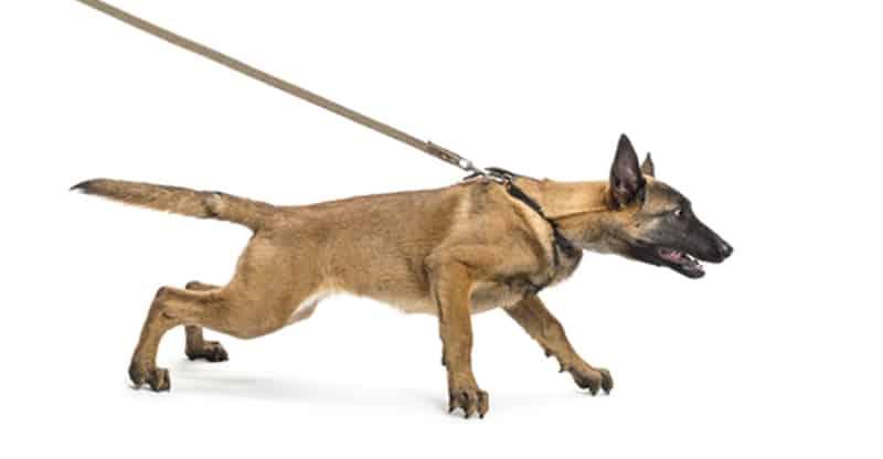 Hund som drar i kopplet