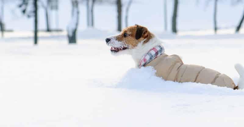 Hund pulsar i djup snö