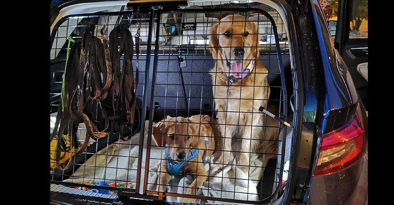 Två hundar bak i en bil