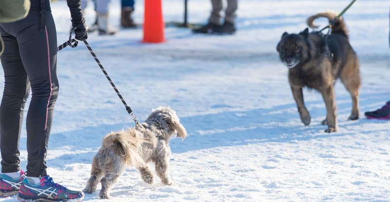 Två kopplade hundar drar mot varandra