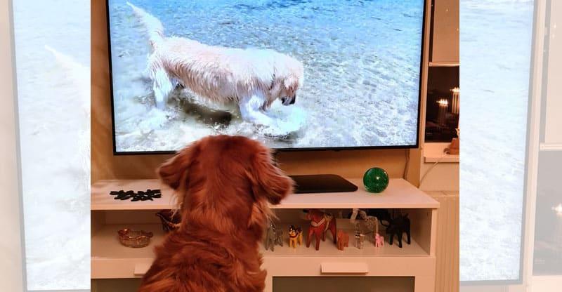 Hund tittar på tv