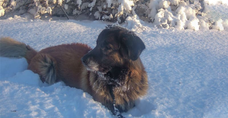 Astra, Cão da Serra da Estrela