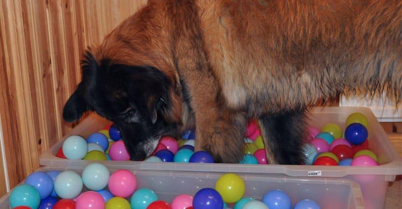 Hund, Cão da Serra da estrela på hundkurs hos Glanna
