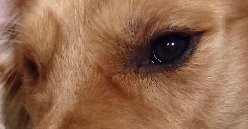 Hundögon