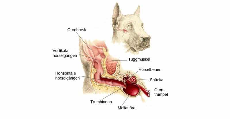 Illustration av hundens öra