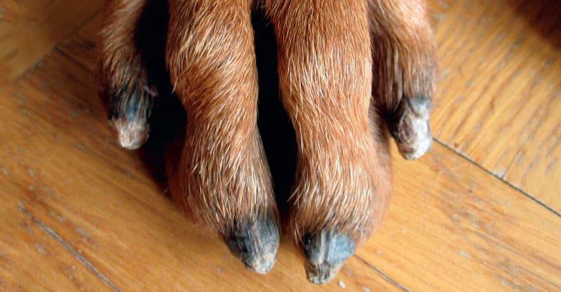 Klorna på en hund med SLO