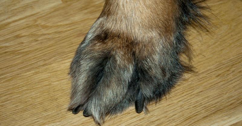 Hundtass med svarta klor